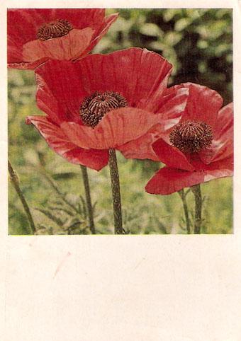 Почтовая открытка «Маки» - 1968г., СССР