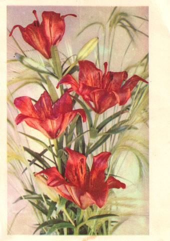 Почтовая открытка «Даурская лилия» - 1968г., СССР