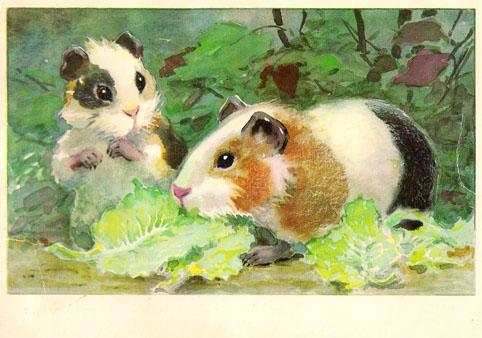 Почтовая открытка «Морские свинки» - 1974г., СССР