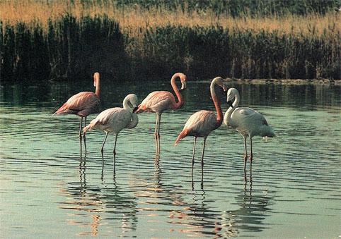 Почтовая открытка «Фламинго» - 1985г., СССР